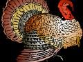 turkey-12